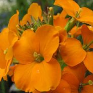 Wallflower Orange Bedder - Approx 600 Seeds